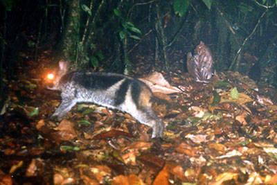 Sumatran rabbit97